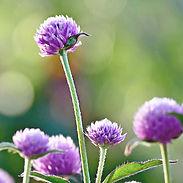 Gomphrena-g.-Lavender_cropped-15.jpg