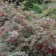 Fuchsia-m.-Versicolor_cropped-30.jpg