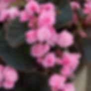 begonia_doublet-pink.jpg