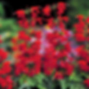 Salvia-coccinea-Red_cropped-3-1-768x768.