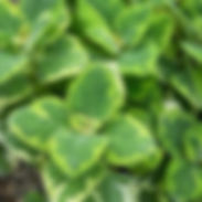 Plectranthus-f.-Green-on-Green.jpg
