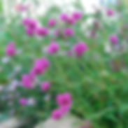 gomphrena-fireworks_cropped-34-scaled.jp
