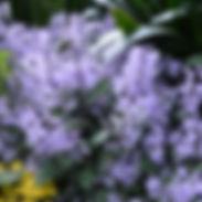 Plectranthus-x-Velvet-Elvis_cropped-17.j