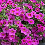 Calibrachoa_MillionBells-pink_cropped-7-