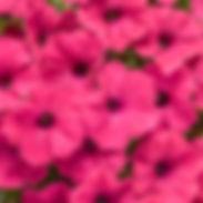 petunia-supertunia-vista-fuchsia-400x400