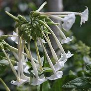Nicotiana-sylvestris_cropped-2.jpg