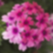 verbena-lanai-bright-eye.jpg