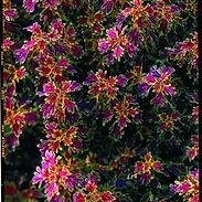 COLEUS-INDIA_cropped-11-2.jpg