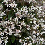 Euphorbia-x-Starblast-pink.jpg