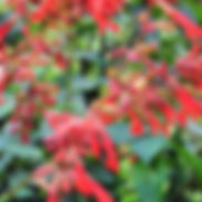 Salvia-x-Wishes-Collection-Embers-Wish_c