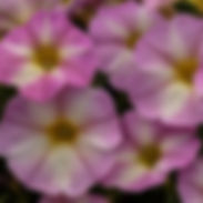 Petunia_SuperCal_Lavendar-Star_02-CROP-1