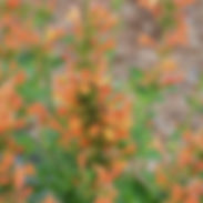 agastache-pouquito-orange-400x400.jpg
