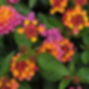 Lantana-Bandana-Cherry-Sunrise_cropped-1