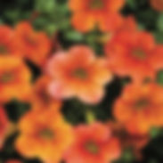 Calibrachoa_cracking-fire_cropped-6.jpg