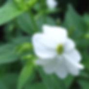 Browallia_americana_alba_cropped-1.jpg