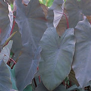 colocasia-blk_cropped-7-2.jpg