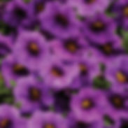 Calibrachoa-superbells_compact_blue_crop