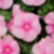 Vinca-Titan-Icy-Pink_cropped-1.jpg