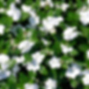 vinca-titan-white_cropped-1-768x768.jpg