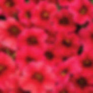 calibrachia-superbells_red_cropped-39.jp