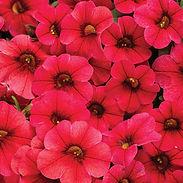 calibrachia-superbells_red_cropped-39.jp