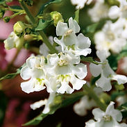 angelonia-angelface-white-blooms-close-u