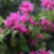 salvia_iodantha_01_cropped-9-1-uai-340x3