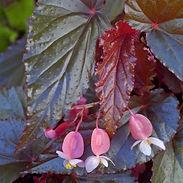 Begonia-Linda-Dawn_cropped-2.jpg