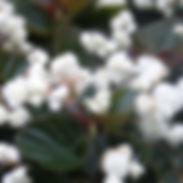 begoniadoublet_cropped-2-2.jpg