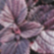 Coleus-Dark-Star_cropped-2-400x400.jpg