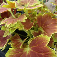 Pelargonium-x-Vancouver-Centennial_cropp