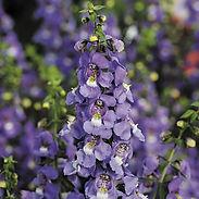 angelonia-serena-blue.jpg