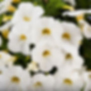 calibrachoa-white_cropped-64.jpg