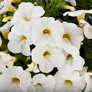calibrachoa-white_cropped-64.jpg