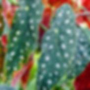 Begonia-maculata-wightii-400x400.jpg