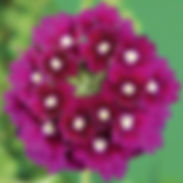 verbena-lanai-royal-purple_cropped-25-76