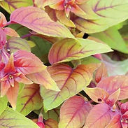 Fuchsia-x-Autumnale_cropped-4.jpg