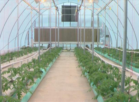 KAAL: Tomatoes, lettuce grown year-round in Preston