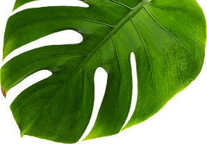 hazel-plant5_edited.png