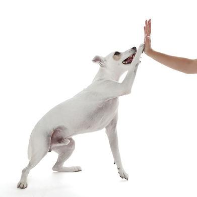Dog giving high five, dog waving, dog giving paw