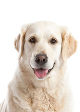 labrador retriever sit stay