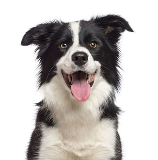 border collie sit stay