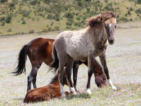 Wild Horses at Cotopaxi