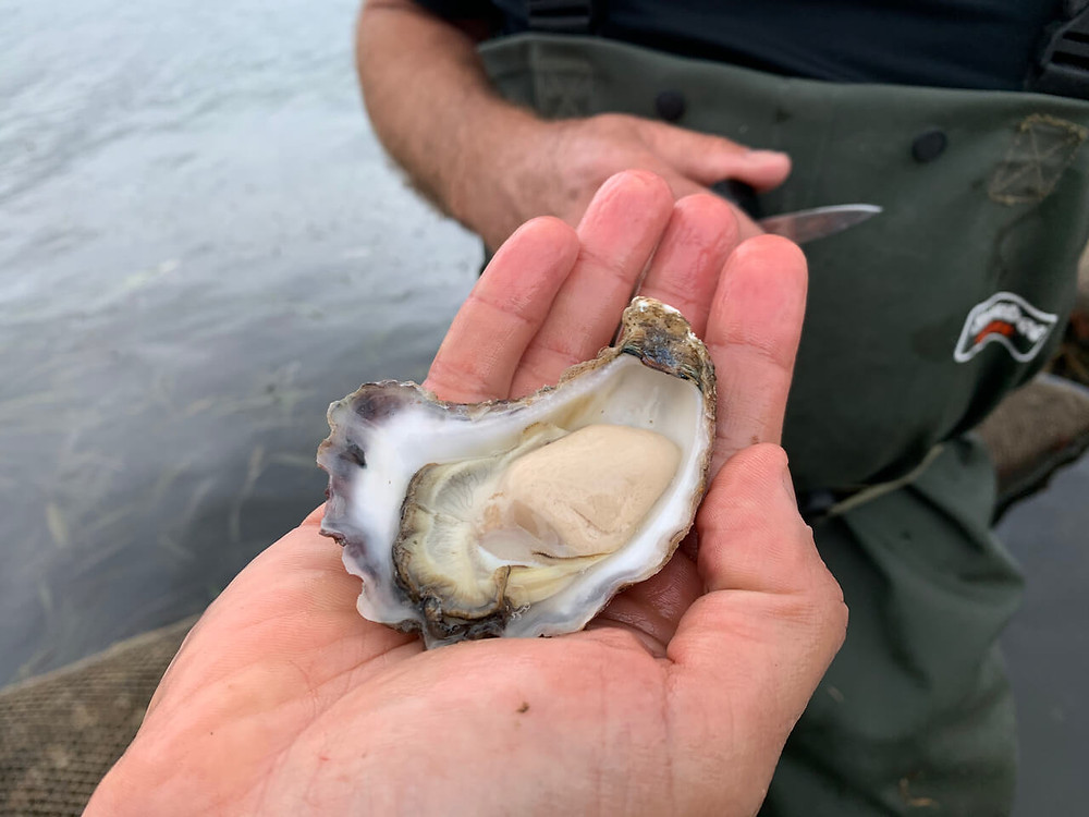 Oysters - how to open oysters