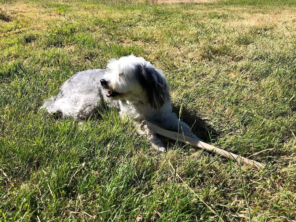 Truffle hunter, Stevie