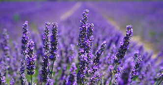 aroma-blooming-lavender-close-up-207518.
