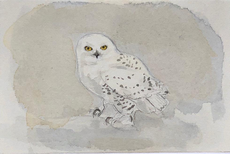 Snowy Owl (F)