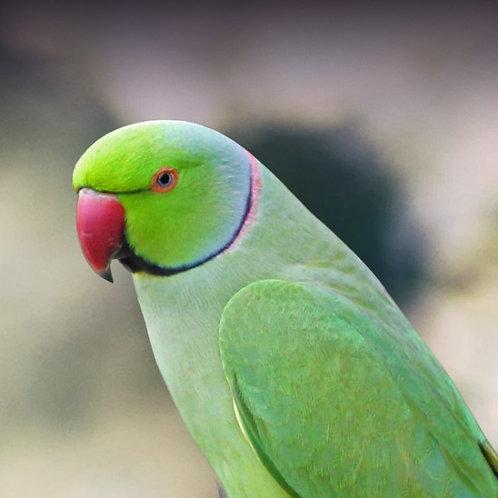Ringneck Indian Parakeet