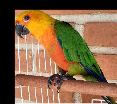Jenday Conure Parrots