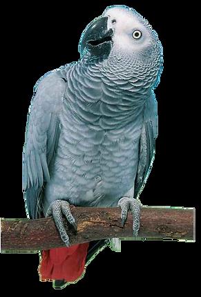 African Gray Parrots